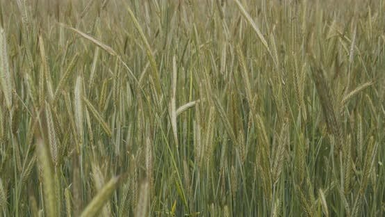 Green Sprouts Of Wheat On The Field In Summer