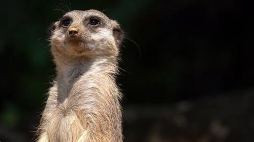 Mammal Animal Meerkat