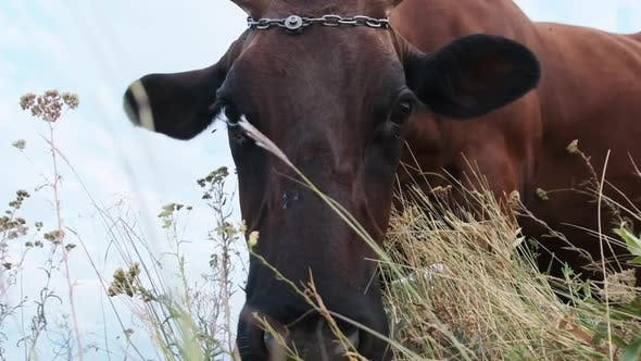 Thumbnail for Cow Grazing on the Meadow and Looking on Camera on Sky Background at Sunny Day
