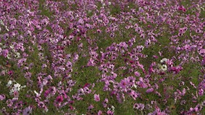 Cosmos bipinnatus commonly called the garden cosmos or Mexican aster.