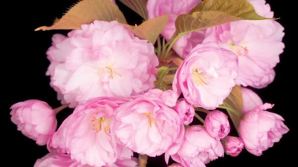 Time Lapse of Beautiful Opening Pink Sakura Flowers Bunch