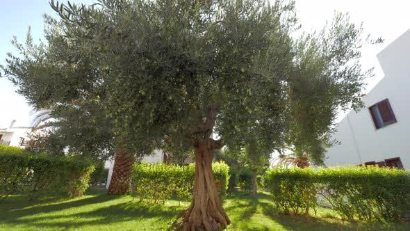 Tree covered with green olives