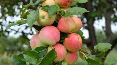 Fresh Apples on Apple Tree