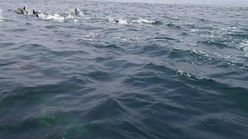 Pod of Dolphins Frolic Alongside Boat
