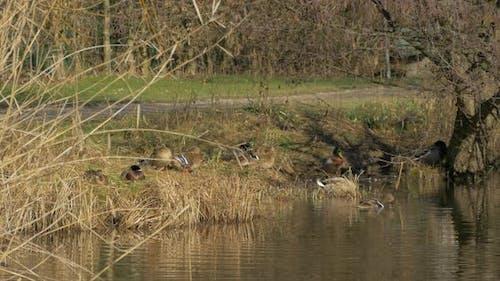 Ducks on the riverside