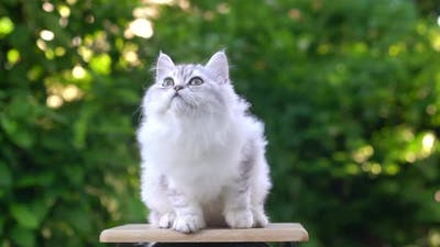 Cute Persian Kitten Sitting And Playing Toy On A Chair