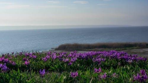 Violette und gelbe Iris auf der Wiese.