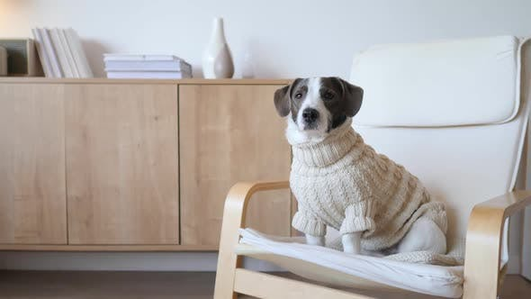 Thumbnail for Funny Dog Sitting In The Chair Like A Boss Wearing Knit Sweater.