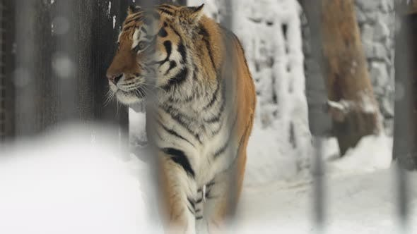 Thumbnail for Amur Tiger Walks Into Cage In A Zoo In A Winter, Novosibirsk, Russia