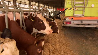 Cow eat farm