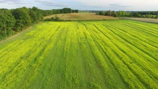 Vue aérienne du champ de colza jaune