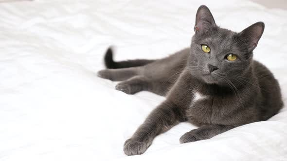 Elegant Gray Cat Lies on a White Bed