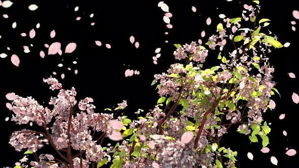 Thumbnail for Cherry Blossom Branch With Petals Falling