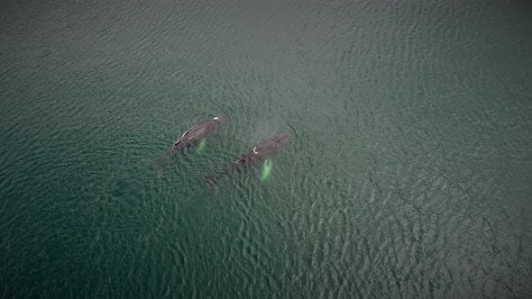 Thumbnail for Aerial view of Humpback whales in Costa Rica.