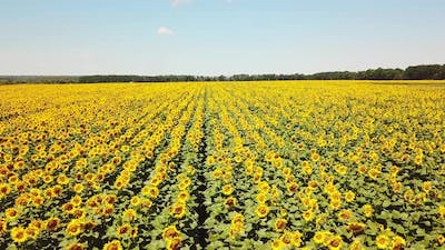 Aerial view of Sunflowers field. Flight over a field of sunflowers