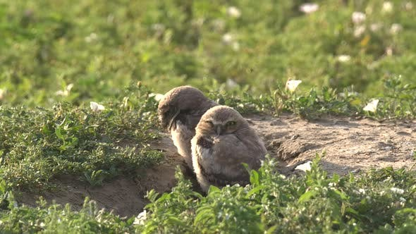 Thumbnail for Burrowing Owl Young Chicks Pair Stretching Wings in Summer Burrow