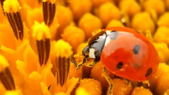 Thumbnail for Ladybug Sitting on Yellow Sunflower