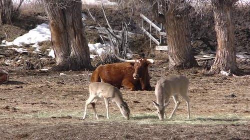 White-tailed Deer Pair Eating Feeding in Winter Hay in Wyoming
