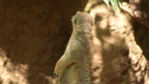 Meerkat Suricate in a Rock