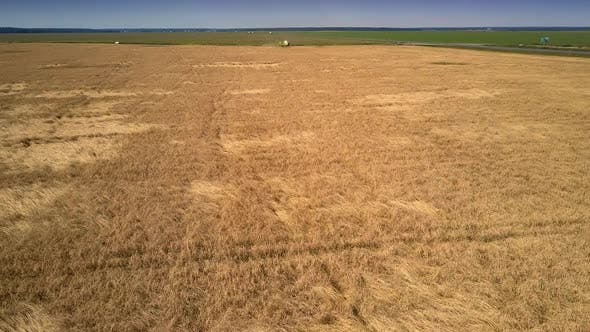 Thumbnail for Low Flight Over Gold Wheat Field To Operating Harvesters