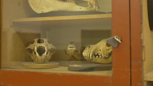 Animals Skulls Exposed In Zoological Cabinet