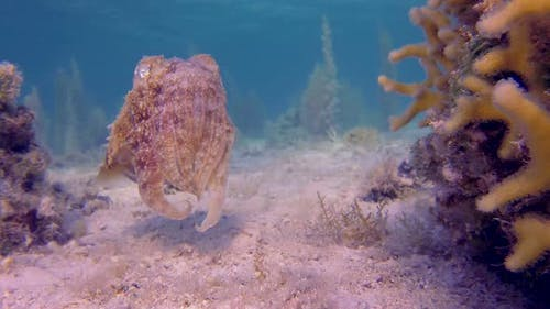 Tropical Cuttlefish Laying Eggs