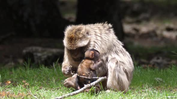 Thumbnail for Barbary ape and his young eating at Cèdre Gouraud Forest