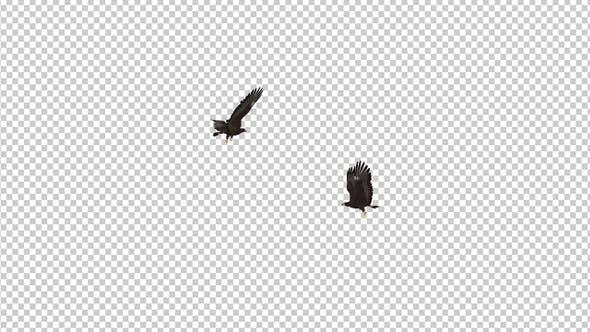 Black Hawks - Two Birds - Flying Around - Transparent Loop