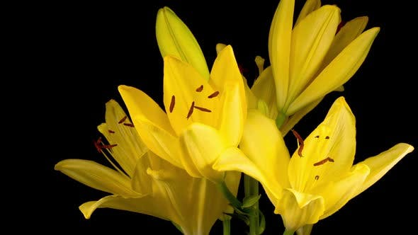 Thumbnail for Time Lapse of Beautiful Yellow Lily Flower Blossoms