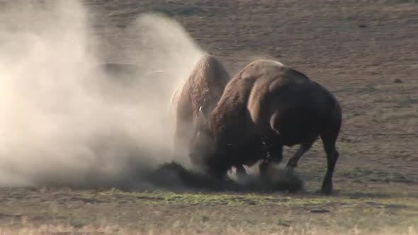 Bison Bull Adult Pair Fighting in Summer Dust Bare Ground in South Dakota