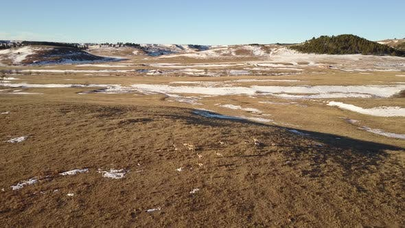Pronghorn Antelope Herd Several in Winter in South Dakota