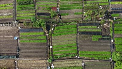Vegetable farm in Malaysia
