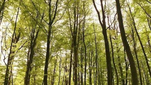 Friedliche hohe Bäume in der Mitte des Waldes