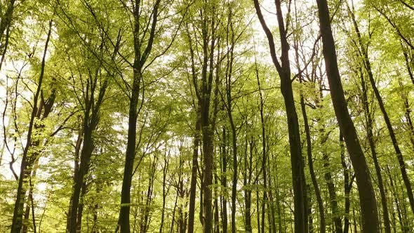 Peaceful Tall Trees in the Middle of the Forest
