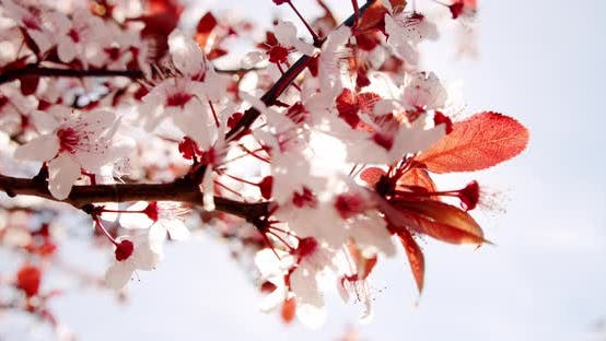 Close Up Cherry Blossom Waying Wind Closeup Background
