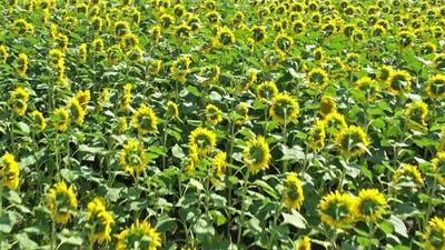 Meadow With Sunflowers
