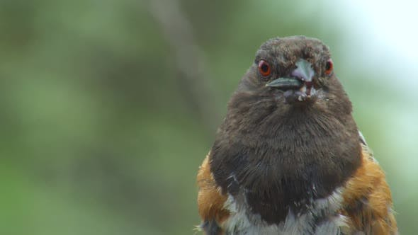 Thumbnail for Spotted Towhee Adult Lone Eating Feeding in Summer Seeds Red-eye