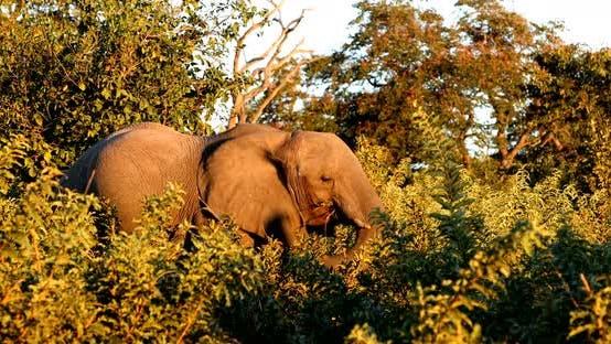 Thumbnail for Elephant in Chobe, Botswana, Africa wildlife safari.