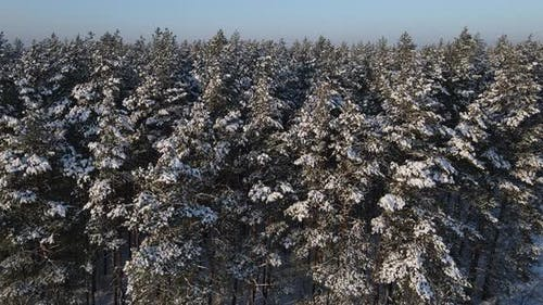 Snow-covered Coniferous Forest, Aerial Photography