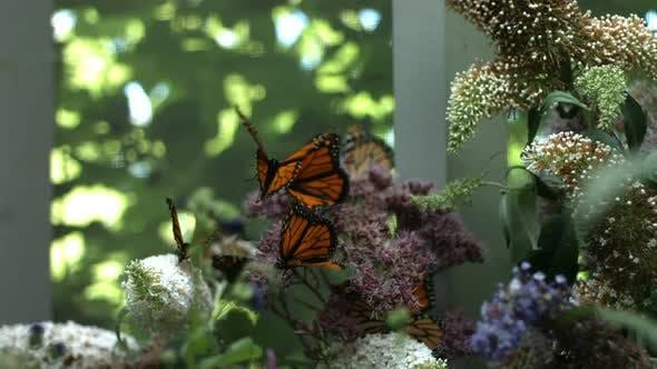 Monarch Butterflies, slow motion