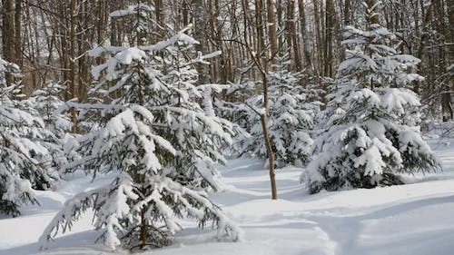 Spruce trees covered with fresh snow in the winter forest.