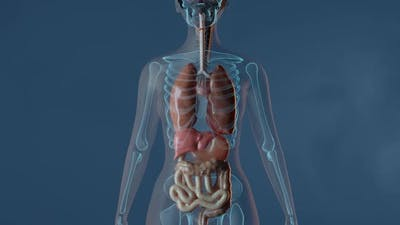 Lungs In Female Body
