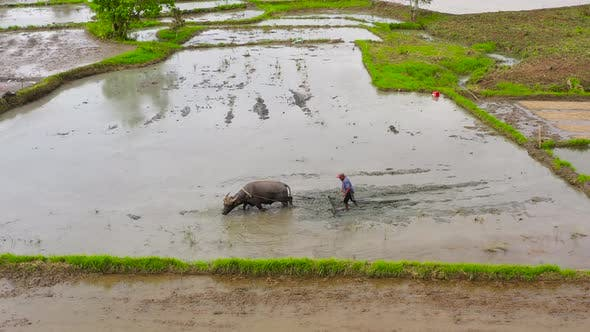 Thumbnail for Farmer Plows an Agricultural Field with the Help of a Bull with a Plow