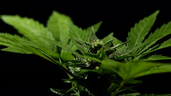 Thumbnail for Cannabis Bush Rotation on Black Background. Hemp Is Used As Raw Material for Fuel, Textile, Oil