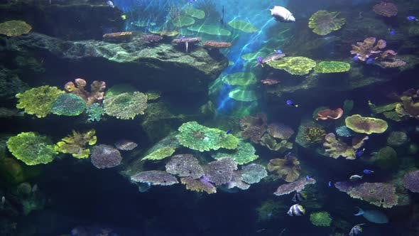 Thumbnail for Tropical Undersea World of Coral Reef with Angelfish and Surgeonfish
