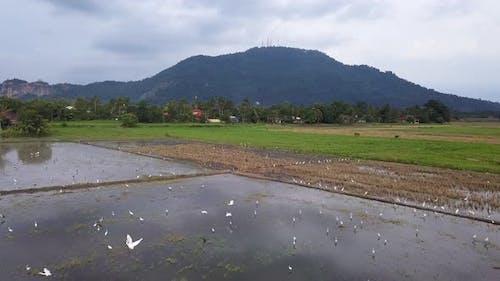 Egret birds fly at paddy field.
