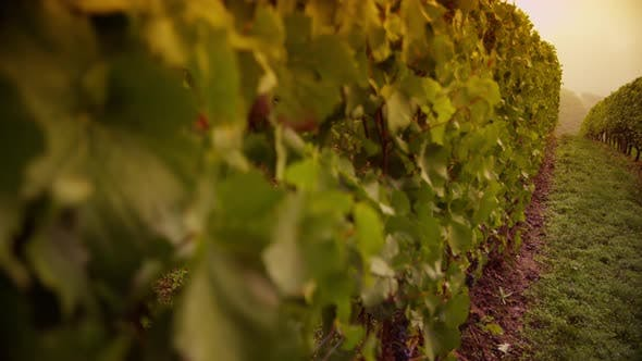 Vineyard at sunrise. Shot on RED EPIC for high quality 4K, UHD, Ultra HD resolution.
