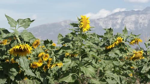 View of sunflower blowing in a lite breeze on a sunny day