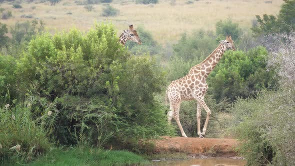 Thumbnail for Pan from two giraffes in the Pilanesberg