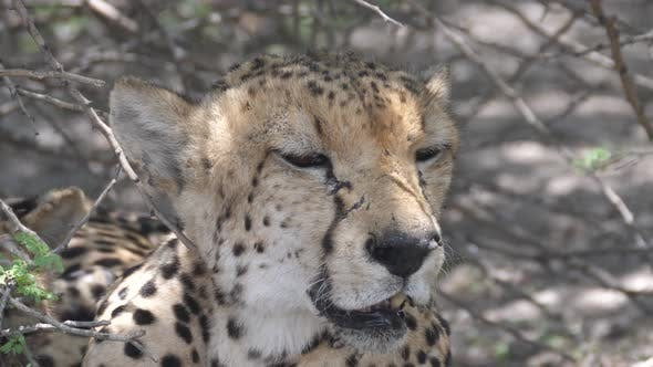 Close up from a cheetah resting under bushes